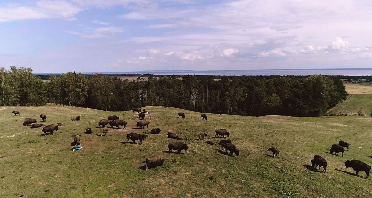 Safari med bisonoxar