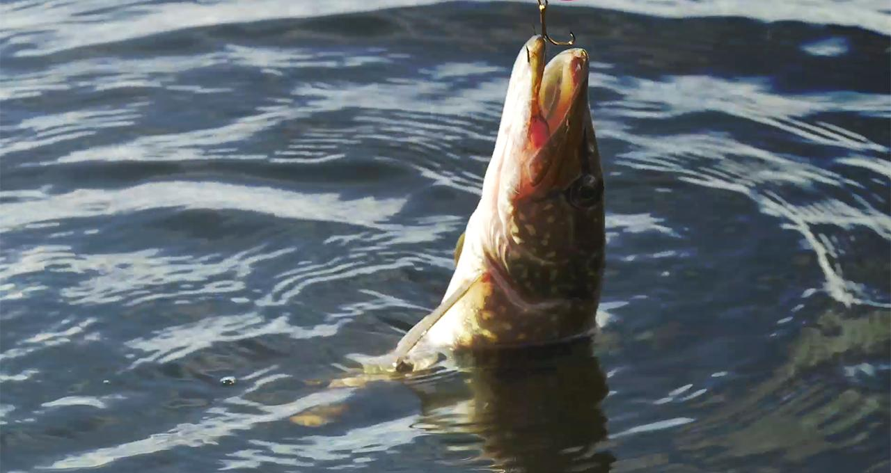 Gäddfiske i Backsjön
