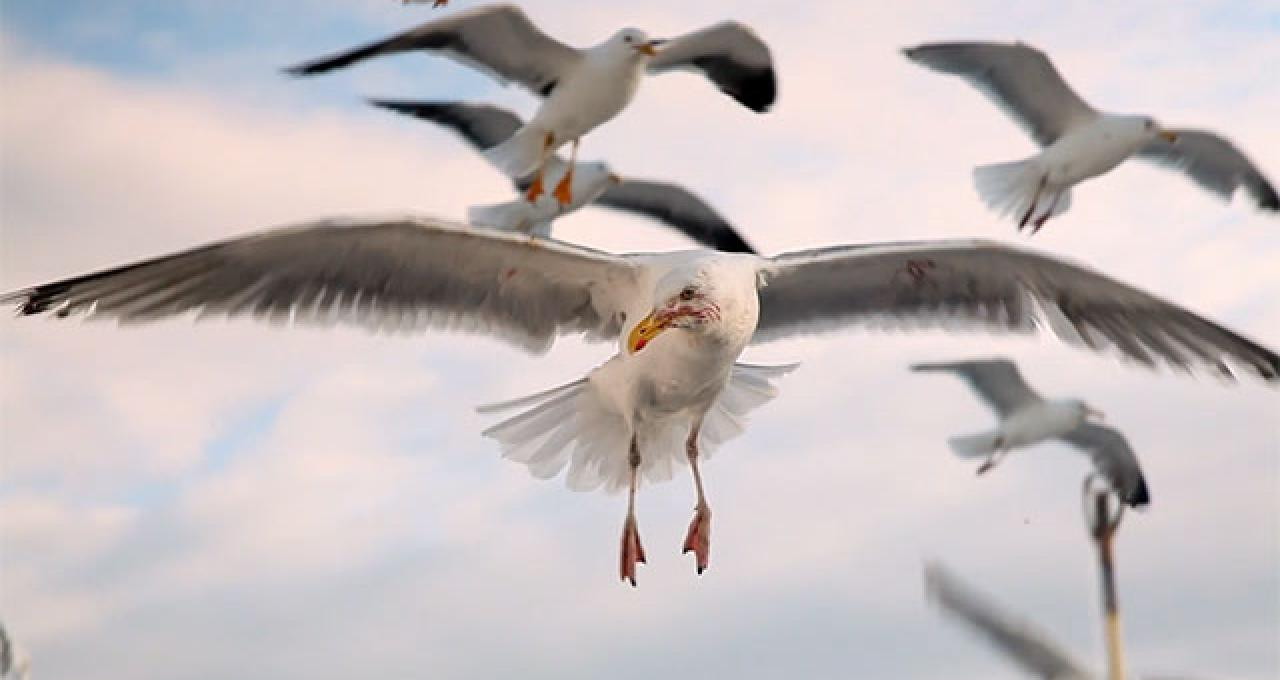 Fiskmås på Kattegatt