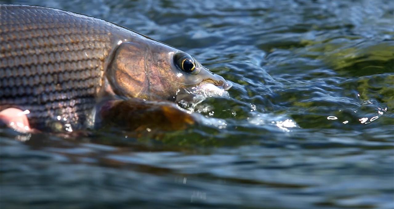 Flugfiske i Ammarnäs
